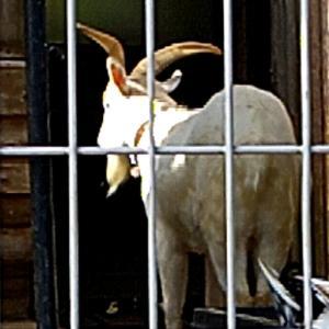 住宅街の民家にヤギがいた