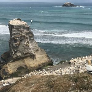 【ニュージーランド親子留学】2月のムリワイビーチはカツオドリが間近で見られる!