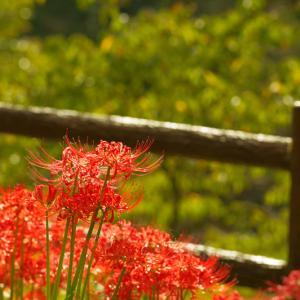 奈良県宇陀市 仏隆寺の彼岸花を観に行きました その2