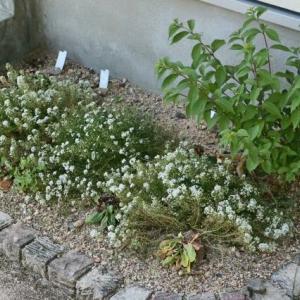 ジャングル化した花壇をビフォーアフターしました
