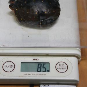 2019年5月 令和最初のキボシイシガメ身体測定