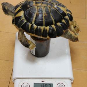 2019年6月 リクガメ身体測定