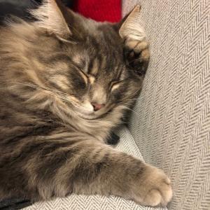 テン、片手枕で昼寝