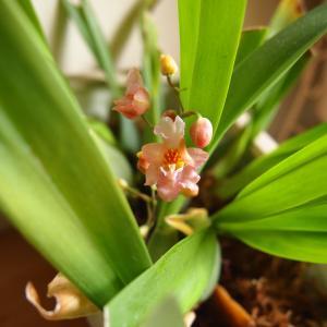 """小さな蘭の花""""オンシジウム・トゥインクル""""咲き始めました♪"""