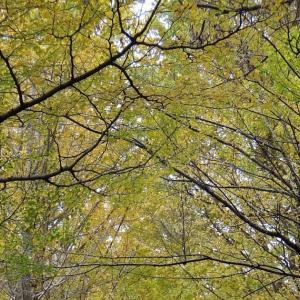 ビオトピアの銀杏並木