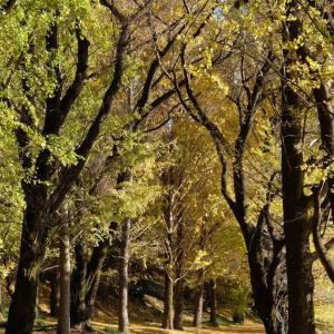 ビオトピアの銀杏並木(その2)