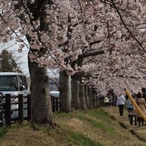 大倉緑地の桜が満開に