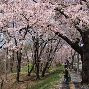 将監風致公園の桜並木にて