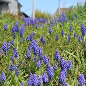 ある農家の庭先に咲いていた青い花