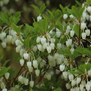 ドウダンツツジの白い花