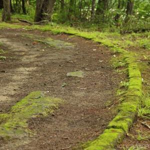 雑木林の縁石に生えている苔はハマキゴケかな?