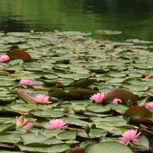 桂島緑地の水面に浮かぶ睡蓮の花