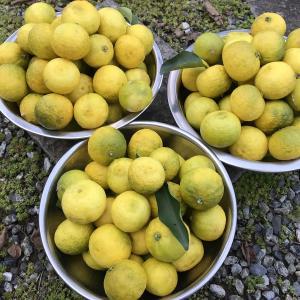 柚子が大豊作。