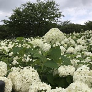 権現堂公園の紫陽花。