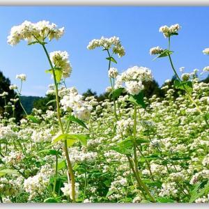 「蕎麦の花」徳島県美馬市大谷地区