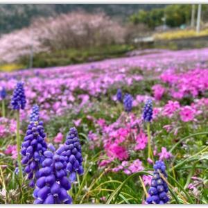 芝桜 〜徳島県美馬市広棚〜