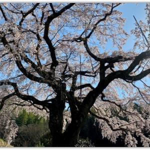 堀池のしだれ桜(香川県綾歌郡綾川)