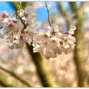マイナスイオンの木立をぬけて 〜大窪寺門前の八十八庵のしだれ桜〜