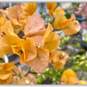 希少性の高い黄色のブーゲンビリア