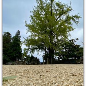 大窪寺の大銀杏の黄葉