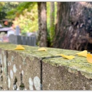 大窪寺の銀杏の黄葉は今週末が1番