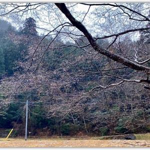 紅葉の木の咲く雨の花 〜満開?〜