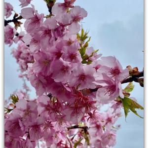 強風に耐える河津桜