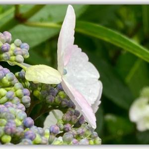 雨が似合う、花の寺『勝名寺』の紫陽花