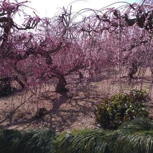 【絢爛】今が見頃!昇竜しだれ梅を見てきました。