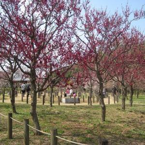公園の河津桜と梅