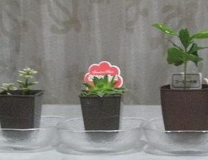 100均の植物を買ってみた