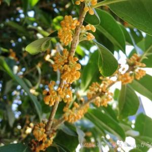 台風一過と草むしり…ご褒美は金木犀の香り