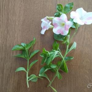 ばっさり切り戻しをしたお花が元気になりました