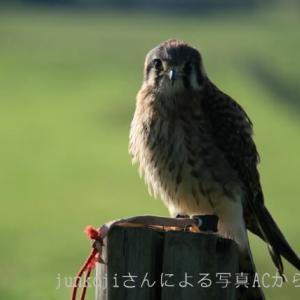 七十二候『鷹乃学習』