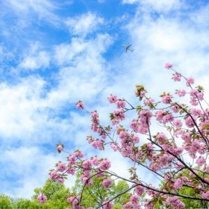 昭和園の八重桜