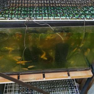 金魚水槽の獣対策。