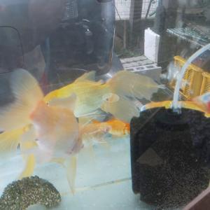 金魚が数年たつと…。