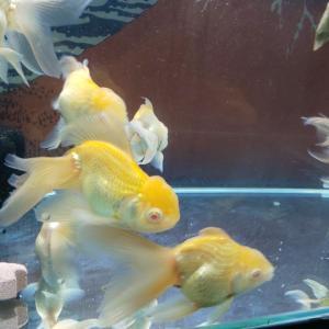 久し振りに金魚。