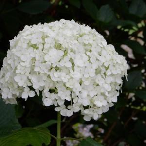 アジサイの花の色