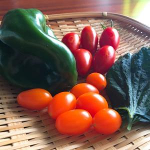 プランター栽培のミニトマト、ピーマン、大葉を収穫!/初心者の家庭菜園日記