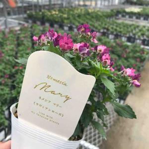 花芳オリジナル、ネメシア マリーのラベルが出来ました。