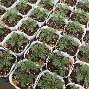 マリーゴールドの栽培楽しいです。