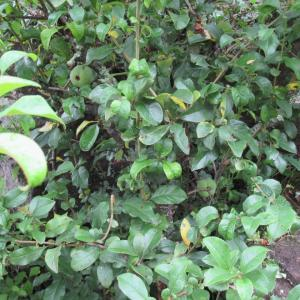 2020/7/3(金)~7/5(日)和室から見える自慢のヤマボウシとシンボルツリーの夏椿