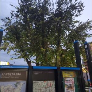 黒崎駅のケヤキ