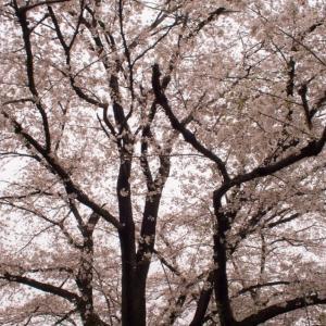 桜点描、志村けんさんの死に思う