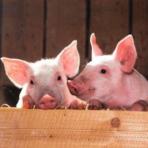 豚の解体事件は後顧に憂いを残す?