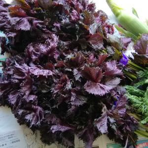 紫蘇ジュース&テントウ虫など