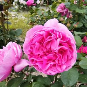 バラかおる5月のバラ園と、ローズオットー
