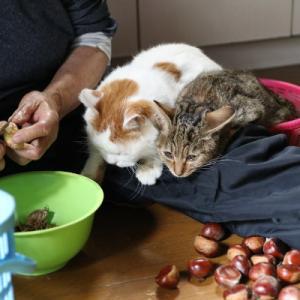 しろと栗の皮むき Peeling cat and chestnut