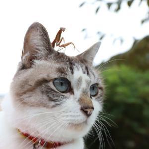 カマキリをのせたくろ Cat with mantis